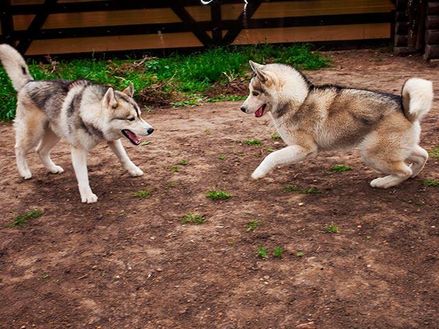 Общение с собаками в Хаски Лэнд для детей Фото